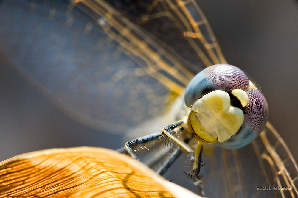 Dragonfly by scott leeson