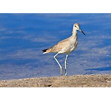 Willet Bird Photographic Print