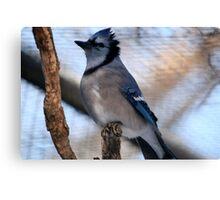 Blue Jay(Cyganocitta Cristata) Canvas Print
