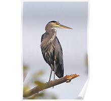 Perching Heron Poster