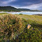 A tussock on Issac Point overlooking the beach by Michael Gay