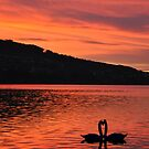 Swans at Sunset by Rosy Kueng