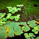 Lily Pads by Angie Muccillo