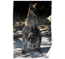 Bennetts Wallaby with young joey Poster