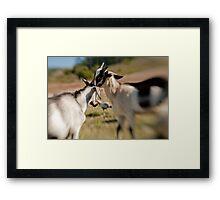 Goat Fight Framed Print
