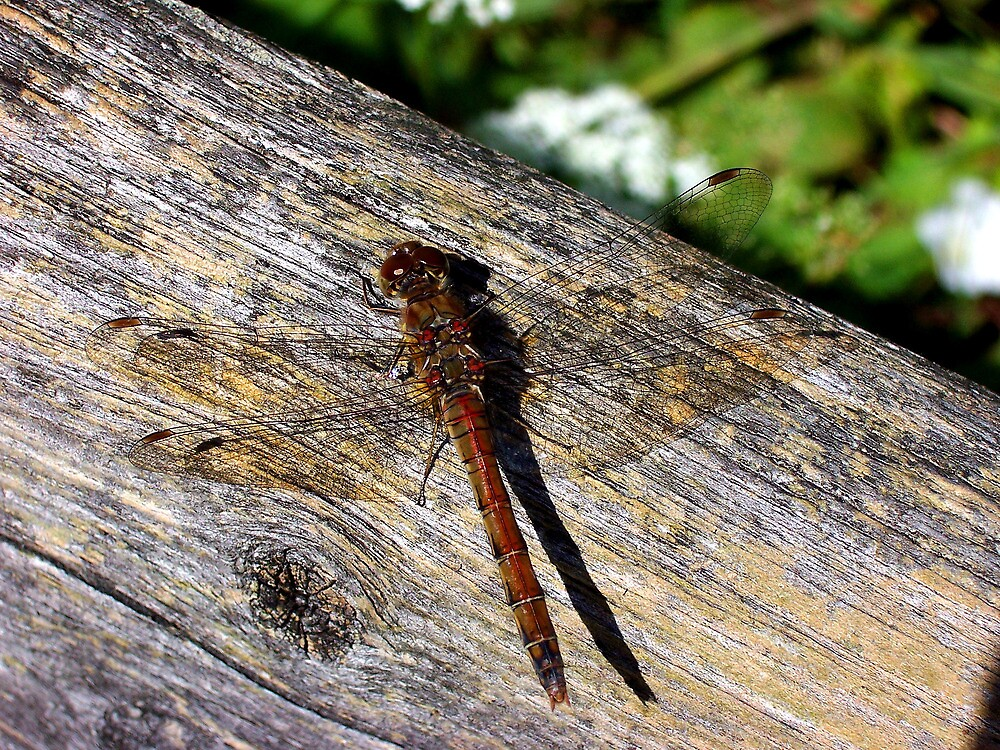 Common Darter  by BeckiBee