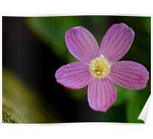 Cranesbill Perennial Geranium - Flower Series Poster