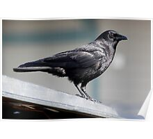 """Crow Atop a Promising """"Food Bin"""" Poster"""