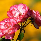 Roses of Pink Before Yellow Bokeh by Wolf Read
