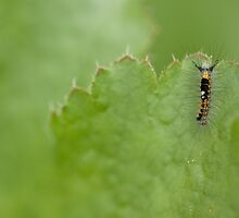Western Tussocks Moth Larva by Kate Krutzner