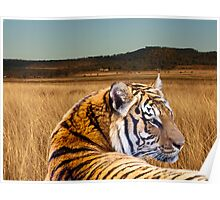 Tiger in the Field Poster