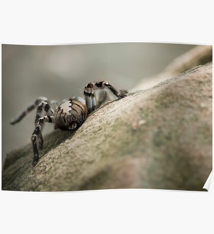 Indian Yellow Tarantula   Poster