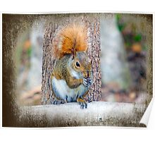 Squirrel with a very red Tail. Poster
