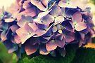 Hydrangea  by Joshua Greiner