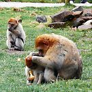 Barbary Macaques - Trentham Monkey Forest by sampsd