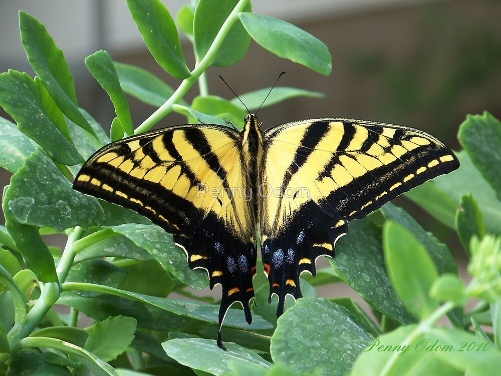 Tigertail Swallowtail Butterfly ~2~ by Penny Odom