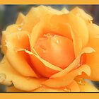 Golden Rose by Ann Persse