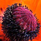Poppy Head by Jeannette Sheehy