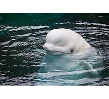The Beluga Photographic Print