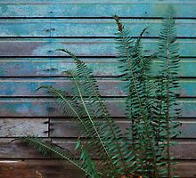Ferns by an old barn by 77degrees