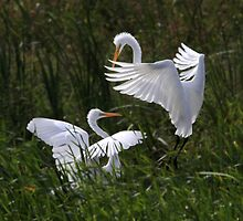 Great Interaction / Great Egrets by Gary Fairhead