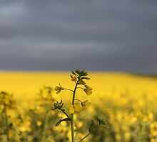 lonely canola by Davegazzard