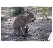 Wallaby at Mt William National Park, TAS Poster