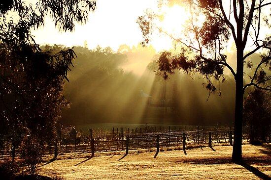 Vinyard - Hunter Valley by kerenmc