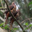 A Cuckoo Pair by byronbackyard