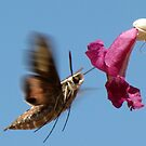 White-lined Sphinx Moth ~ 2 by Kimberly Chadwick