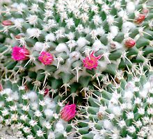 pink flower  cactus by Samantha Pack