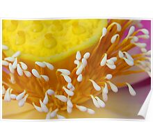 Lotus Flower II Poster