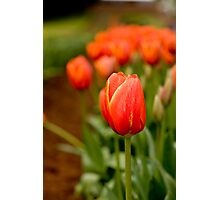 Apparently the worlds favorite Tulip! Photographic Print