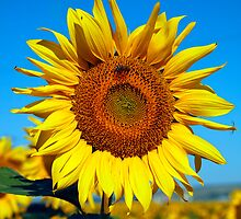 Sunflowers with Insects - Bees and Spiders by John Rocha
