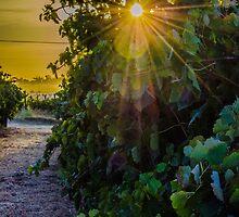 Vine Flare by Angela Lisman-Photography