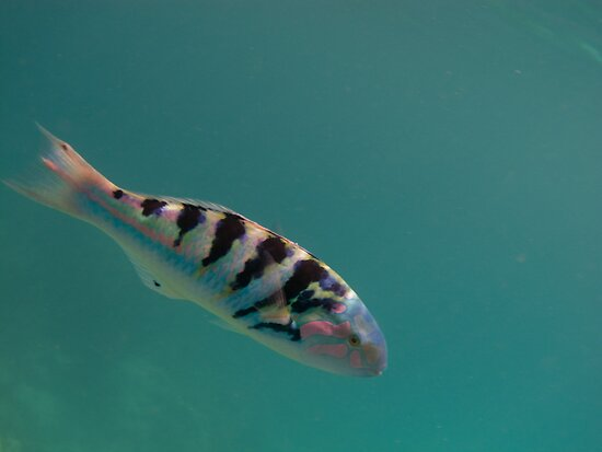 SixBar Wrasse by goingdown