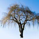 Winning Willow by James Zickmantel