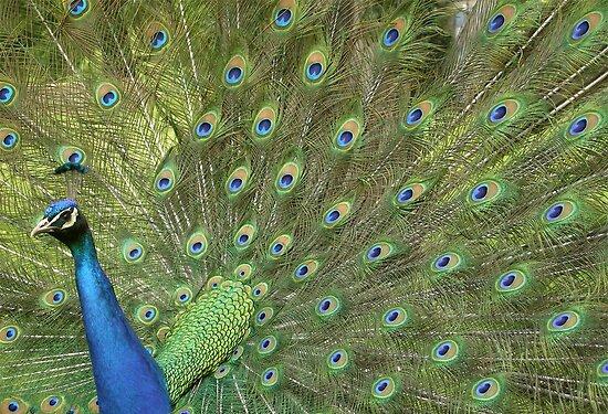 Peacock 3 by Veterisflamme