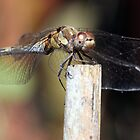 Dragonfly 2 by Ray Clarke