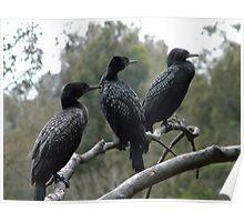 Cormorants in Lane Cove National Park Poster