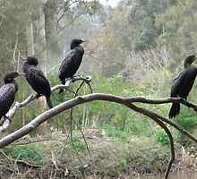Cormorants on a Branch by Helena Bolle
