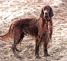 Wet Irish Setter at the beach by davejw