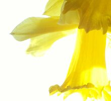 Yellow Daffodil by Jennifer Mulkerrin