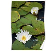 Lily Pads in Bloom I Poster