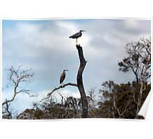 Grey Herons in tree Poster