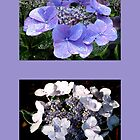 RAINY DAY LACECAP HYDRANGEAS by Joan Harrison