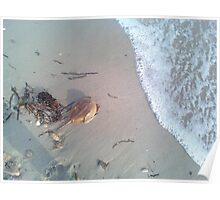 Horse shoe crab Poster