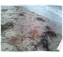 Horse shoe crabs Poster