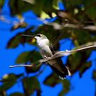Ruby- Throated Hummingbird by Dave & Trena Puckett