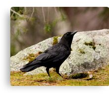 Crow With a Purposeful Upward Stare Canvas Print